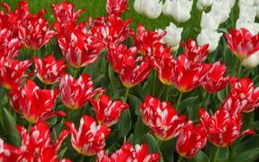Обои сад, тюльпаны, лепестки