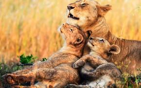 Обои львы, львица, котята, Африка, детеныши