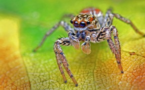 Картинка макро, зеленый, фон, листок, паук, джампер, прыгунчик