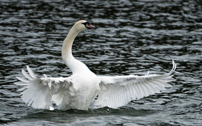 Картинка lake, Swan, open wings, cloudy weather
