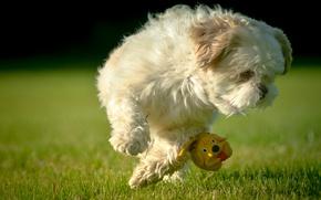 Картинка игрушка, собачка, лужайка, Ши-тцу