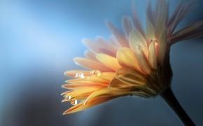 Обои цветок, капли, природа, гербера