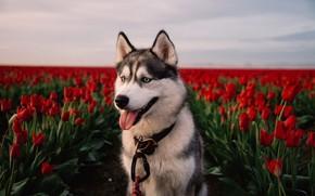 Картинка цветы, красный, поля, собака, тюльпаны, хаски, лайка