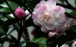 Картинка Капли, Цветок, Листья, Бутон, Цветение, Камелия