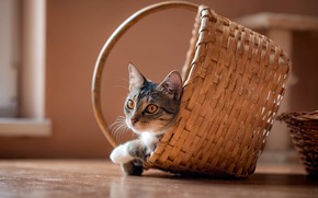 Картинка кошка, кот, взгляд, уют, дом, серый, фон, стена, корзина, игра, пол, прятки, мордашка, корзинка, полосатый