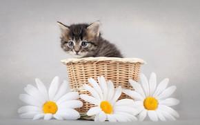 Картинка Цветы, Ромашки, Котёнок