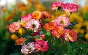 Обои осень, цветы, природа, розы, красота, растения, цветение, сентябрь, флора