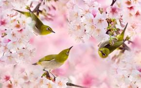 Картинка ветки, весна, сакура, птички, троица, белоглазка, FuYi Chen, белый глаз