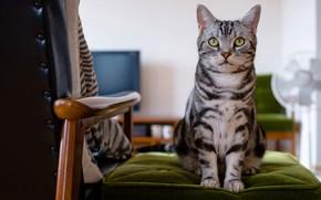 Картинка кошка, глаза, кот, взгляд, морда, серый, фон, комната, мебель, кресло, сидит, полосатый, милашка, зеленые глаза, ...