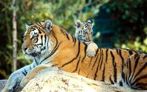 Картинка животные, природа, камень, хищники, детёныш, тигры, тигрица, тигрёнок