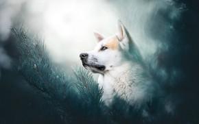 Картинка морда, ветки, портрет, собака, боке, Хаски