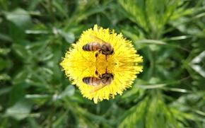 Картинка пчела, одуванчик, зеркало