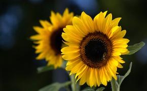 Картинка подсолнухи, лепестки, Sunflower