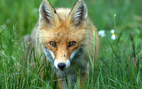 Обои лиса, трава, лето, зелень, мордочка, боке, рыжая, лисица, лис