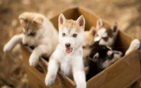 Картинка собаки, щенки, ящик