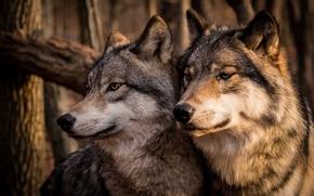 Картинка семья, пара, Волки