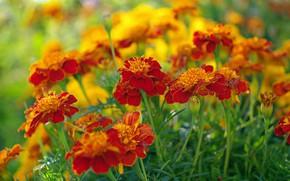 Обои цветы, красота, природа, бархатцы, растения, дача, флора, оранжевый цвет, однолетники, осень