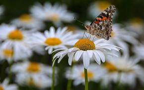 Картинка лето, макро, цветы, насекомые, бабочка, ромашки, дача, наша дача