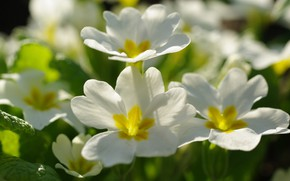 Картинка цветы, природа, нежность, красота, растения, весна, первоцветы, флора, пробуждение, белый цвет, примула, белоснежность