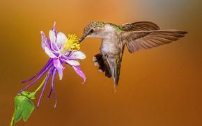 Картинка цветок, клюв, колибри, самка, черногорлый архилохус