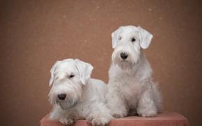 Картинка собаки, фон, Щенки, пара, белые