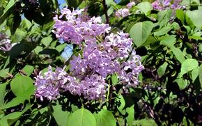 Картинка Весна, Сирень, spring, Lilac