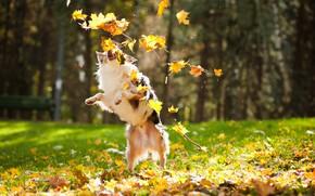 Картинка осень, листья, собака, пес, клен, блюр