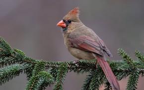 Обои красный кардинал, виргинский кардинал, ветка, птицы