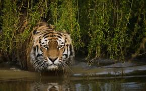 Картинка морда, вода, ветки, тигр, дикая кошка
