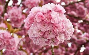 Картинка цветы, вишня, весна, сакура