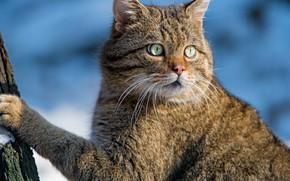 Картинка взгляд, морда, портрет, Дикая кошка, Лесной кот