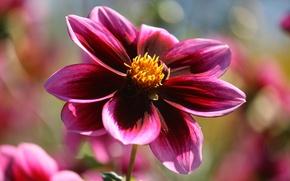 Картинка Макро, георгина, Macro, Фиолетовый цветок, Purple flower