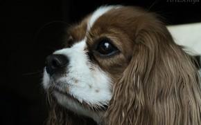 Картинка пёс, кинг чарльз, нос, ушастый, глаз