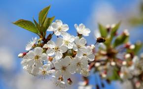 Картинка природа, вишня, красота, весна, май, цветение, дача, вишнёвый цвет