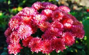 Картинка зелень, свет, цветы, природа, фон, розовый, обои, тень, растения, хризантема, насыщенные