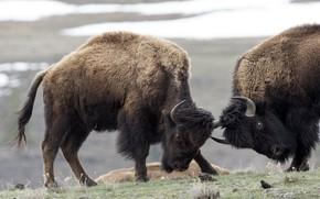Картинка природа, борьба, бизоны