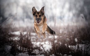 Картинка природа, собака, бег