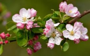 Картинка ветка, весна, яблоня