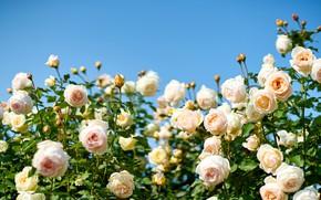 Картинка розы, красота, кусты, бежевые