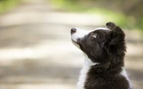 Картинка взгляд, фон, портрет, собака, щенок, профиль, мордашка, боке, Бордер-колли