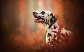 Картинка портрет, собака, профиль, боке, Далматин