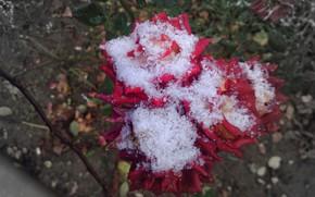 Картинка осень, цветы, розы, розовые, Meduzanol ©