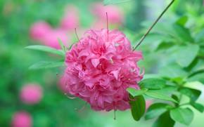 Картинка природа, лепестки, соцветие, Рододендрон