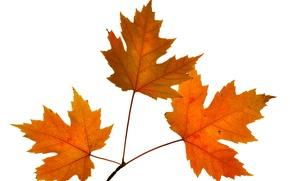 Обои осень, листья, природа, клен