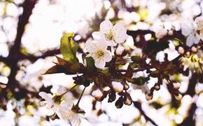 Картинка макро, цветы, природа, вишня, весна, лепестки, бутоны, ветвь, цветение