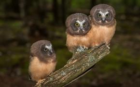 Картинка птицы, совы, трио, троица, Североамериканский мохноногий сыч