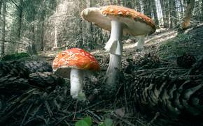 Картинка лес, грибы, мухоморы, Under the Umbrella