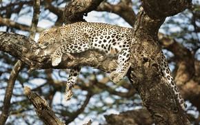 Обои отдых, хищник, пятна, леопард, лежит, маскировка, окрас, дикая кошка, на дереве