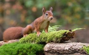 Картинка зелень, лес, поза, фон, мох, белка, рыжая, коряга, шустряга