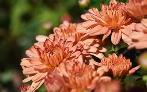 Картинка осень, цветы, розовый, хризантема, широкоформатный